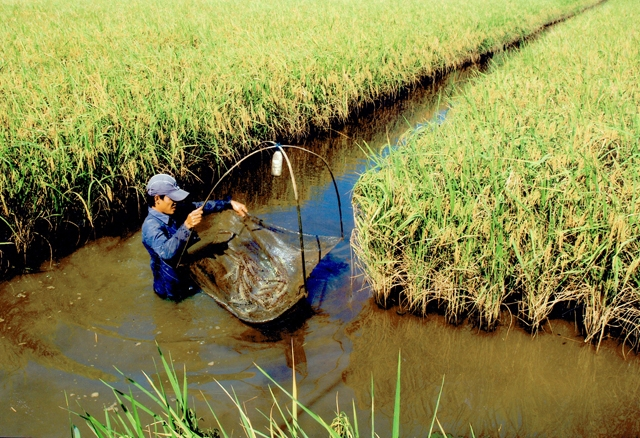 Cho phép sử dụng tối đa 20% diện tích đất trồng lúa cho nuôi trồng thủy sản