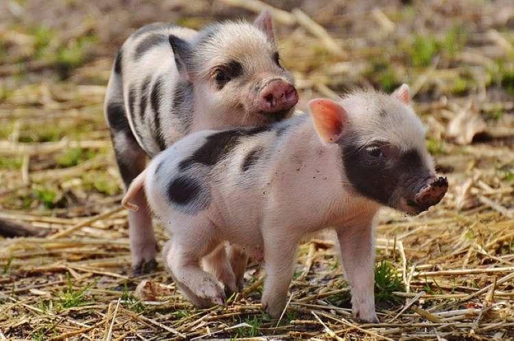 Nghị định 13/2020/NĐ-CP: Ban hành Danh mục giống vật nuôi cần bảo tồn
