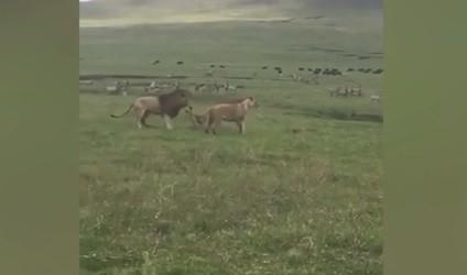 Khoảnh khắc sư tử đục bị chú chó nhỏ đe dọa và phải chạy lùi khiến nhiều người kinh ngạc