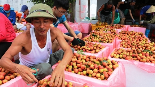 Hiện tại đất vải Thanh Hà có cả trăm điểm thu mua, sơ chế, đóng gói vải xuất khẩu đi nước ngoài và chuyển đi các tỉnh thành phố trong cả nước. Ảnh: Giang Chinh