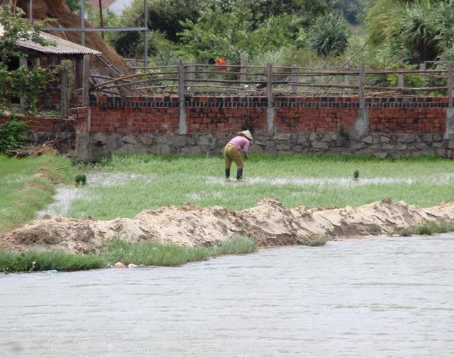 Người dân khắc phục sa bồi để sản xuất lúa.