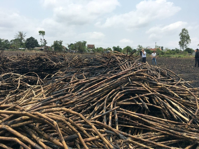 Trong niên vụ vừa qua, giá mía xuống dốc hầu hết nông dân trồng mía ở Phú Yên đều thua lỗ, có trường hợp phải đốt bỏ vì không ai mua