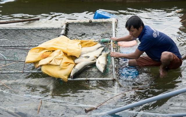 Cá trắm lớn trưởng thành chuẩn bị bán bỗng chết đột ngột