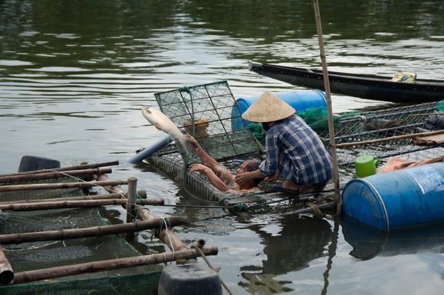 Cá chết hàng loạt khiến người nuôi cá xót xa.