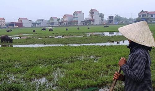 Người nông dân xã Thiệu Dương mỗi khi thả trâu bò ra đồng phải đóng phí đồng cỏ. Ảnh: Lê Hoàng.