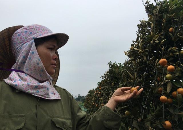 Vườn quất cảnh của gia đình chị Nguyễn Thị Lụa bị phun thuốc cỏ gây thiệt hại lớn
