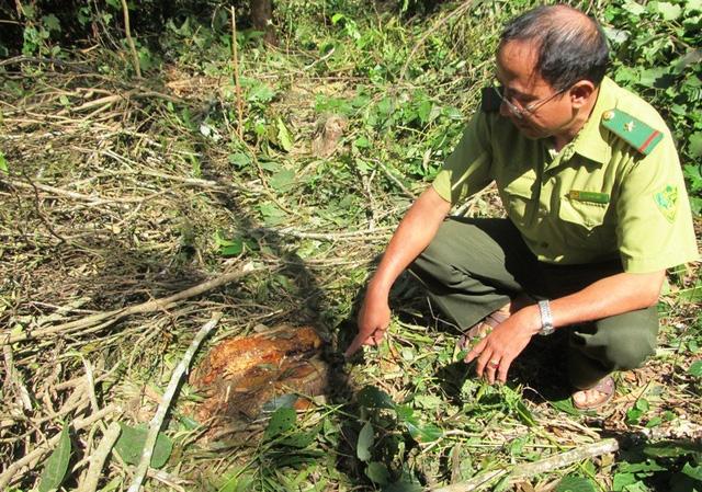 Liên tiếp xảy ra tình trạng người dân chặt phá gỗ trong rừng đặc dụng.