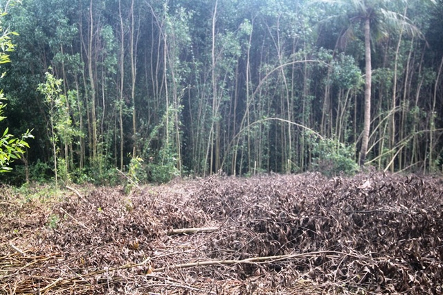 Huyện Hoài Ân (Bình Định) bùng phát trồng cây keo nguyên liệu giấy trên đất nông nghiệp.