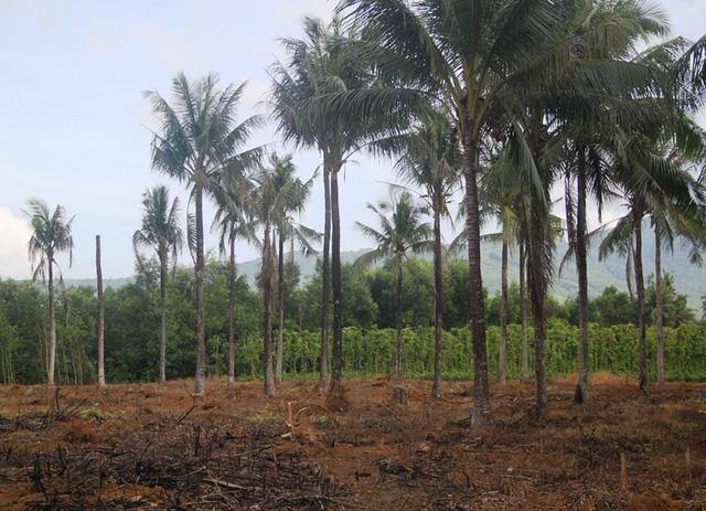 Cây dừa không thể ra trái khi trồng keo xen kẻ.