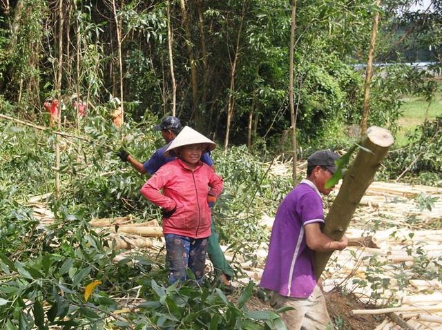 Người dân huyện Hoài Ân đang thu hoạch keo trồng trên diện tích đất nông nghiệp.