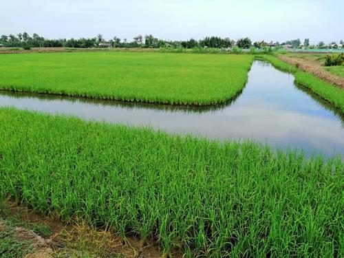 Mô hình ruộng kết hợp ao nuôi tôm canh tác khá hiệu quả của nông dân Trần Trung Kha.