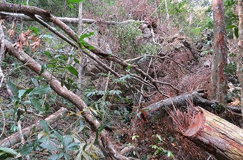 Nhiều cây gỗ nằm ngổn ngang do bị cưa hạ.Ảnh:Ng.Ph
