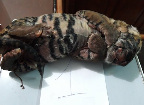 Một trong hai con hổ trong vụ án. Ảnh: Nguyễn Hải.