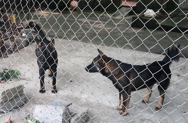 Hai trong số 7 con chó tấn công bé trai tối 3/4. Ảnh: Xuân Sơn