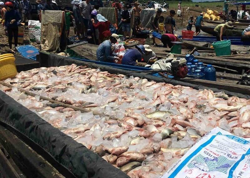 Gần 1.000 tấn cá bè đã chết trên sông La Ngà - ảnh 1