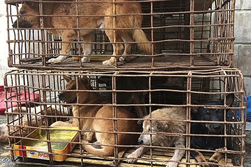 Những con chó tang vật trong một vụ trộm. Ảnh: Hoàng Táo