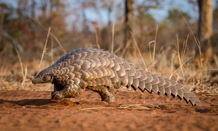 Tê tê là động vật hoang dã bị buôn bán nhiều nhất trên thế giới. Ảnh: Youngzine.