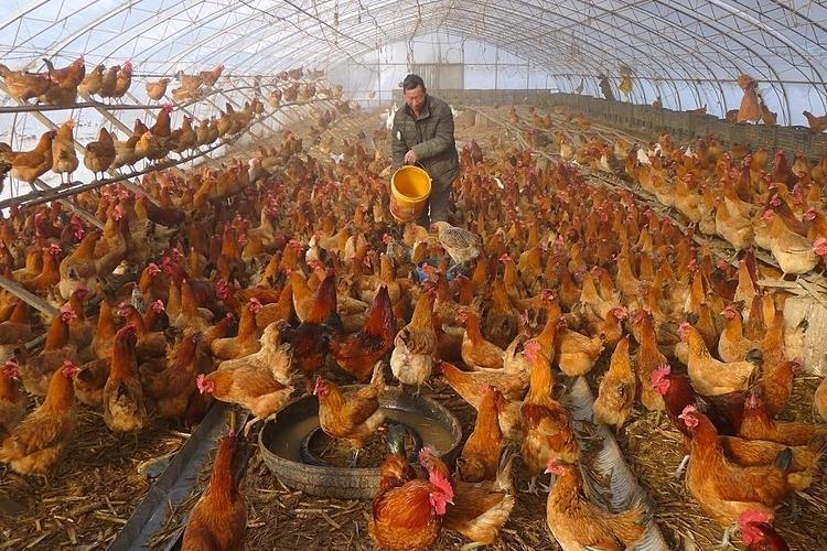 Một trang trại nuôi gà tại Heibe, tỉnh Hắc Long Giang, Trung Quốc. Ảnh: Reuters