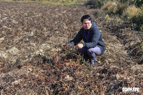 Sương muối tàn phá nông sản Lâm Đồng - Ảnh 2.