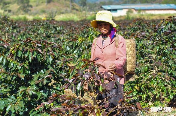 Sương muối tàn phá nông sản Lâm Đồng - Ảnh 3.