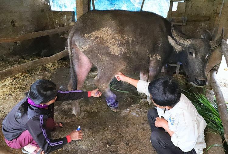 Ông Bình và vợ đang bôi thuốc cho con trâu bị thương ở chân do dính bẫy thú. Ảnh: Đức Hùng