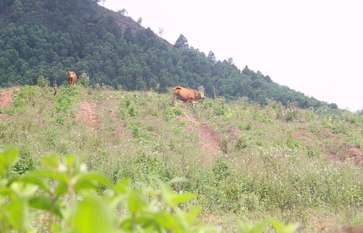 Một góc dự án nuôi bò ở Hà Tĩnh. Ảnh: Đức Hùng.