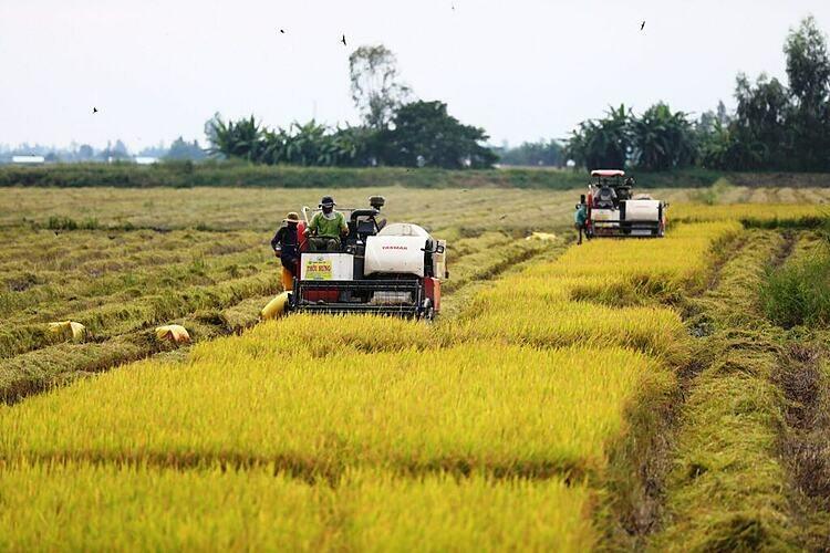 Nông dân An Giang thu hoạch lúa. Ảnh: Hữu Khoa.