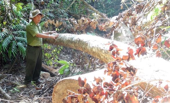 Lâm tặc mở cả cây số đường giữa rừng để đón gỗ - Ảnh 4.