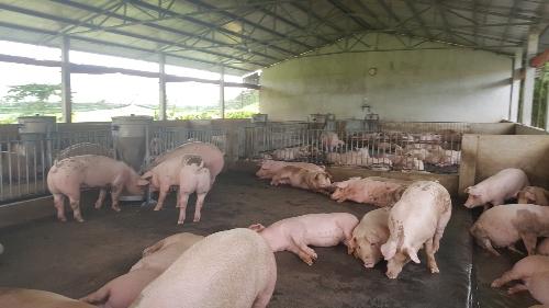 Đàn heo được nuôi theo quy trình VietGAP của dự án LIFSAP.
