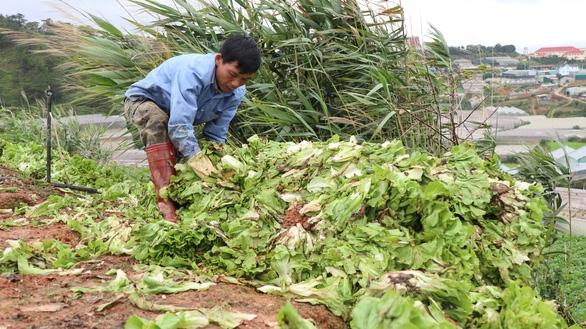 Không kịp tiêu thụ, rau hoa Đà Lạt cắt bỏ để dọn vườn - Ảnh 3.