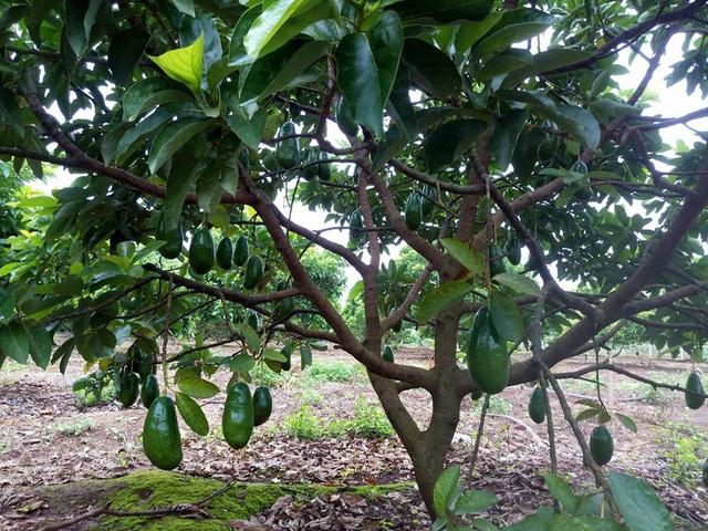 Mới vụ cho thu bói đầu tiên nhưng vườn nhà ông Nguyễn Tấn Dũng có quả bơ đã nặng hơn 1kg.