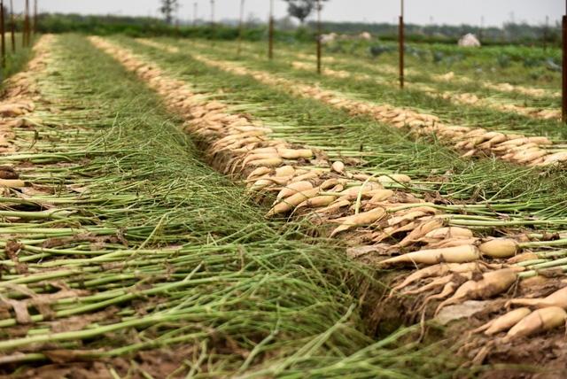 Củ cải được mùa lớn do thời tiết vụ này thuận lợi, sản lượng vượt cao hơn nhiều những vụ trước.