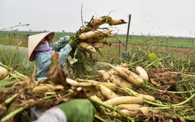 Giá củ cải trắng lúc đắt khoảng 14.000 đồng/kg nhưng giá hiện tại chỉ còn chưa đầy 1.000 đồn/kg. Nhiều hộ dân ở xã Tráng Việt thay vì bán đã phải thuê nhân công nhổ bỏ với thù lao từ 600 - 800 nghìn đồng mỗi sào.
