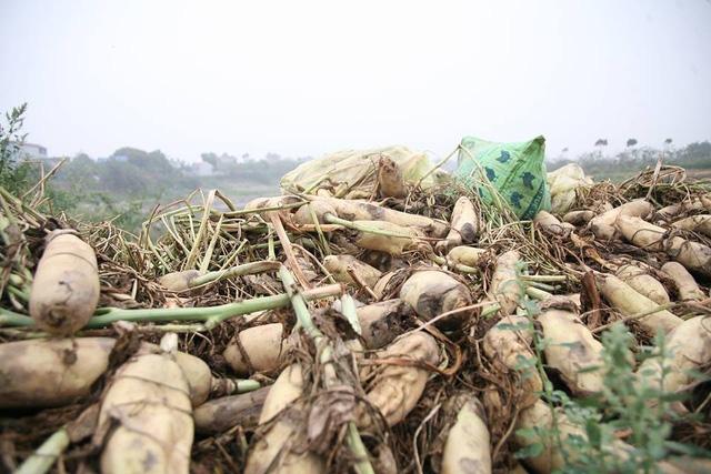 Người dân ở xã Tráng Việt (Mê Linh - Hà Nội) ngậm ngùi vứt bỏ hàng trăm tấn củ cải trắng vì giá rẻ và khó tiêu thụ.