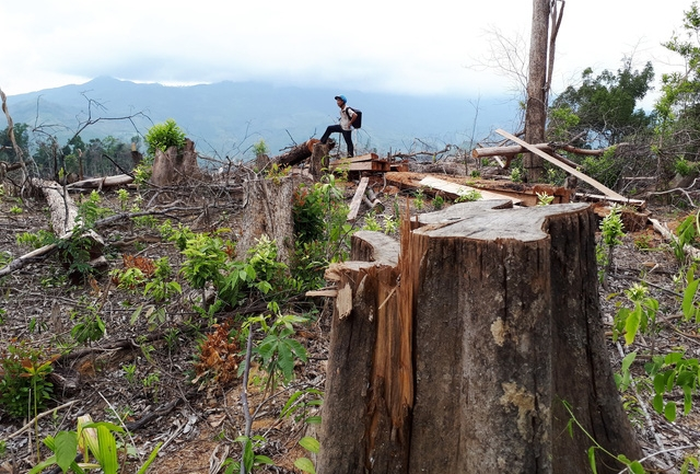 Quảng Nam kỷ luật lãnh đạo kiểm lâm vì vụ phá rừng Tiên Lãnh - Ảnh 1.