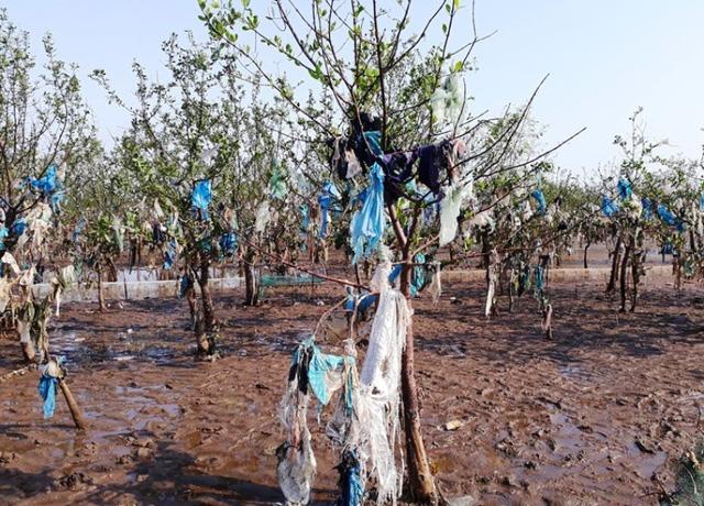 Các loại túi ni-lon, chăn màn, vải vóc…như quấn chặt từ gốc đến ngọn những cây sú, vẹt.
