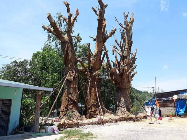 3 cây quái thú đang được trồng tạm ở một bãi đất cạnh tuyến đường tránh TP Huế qua địa bàn Thị xã Hương Thủy. Một số lá non của 3 cây đa sộp này mới mọc ở thân cây