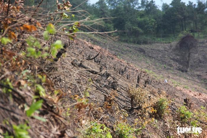8 ha rừng phòng hộ Quảng Ninh bị chặt trụi trước mặt kiểm lâm - Ảnh 3.