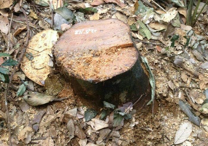 Thêm vụ phá rừng sản xuất ở Thanh Hóa - Ảnh 5.