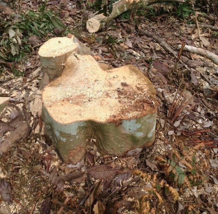 Thêm vụ phá rừng sản xuất ở Thanh Hóa - Ảnh 6.