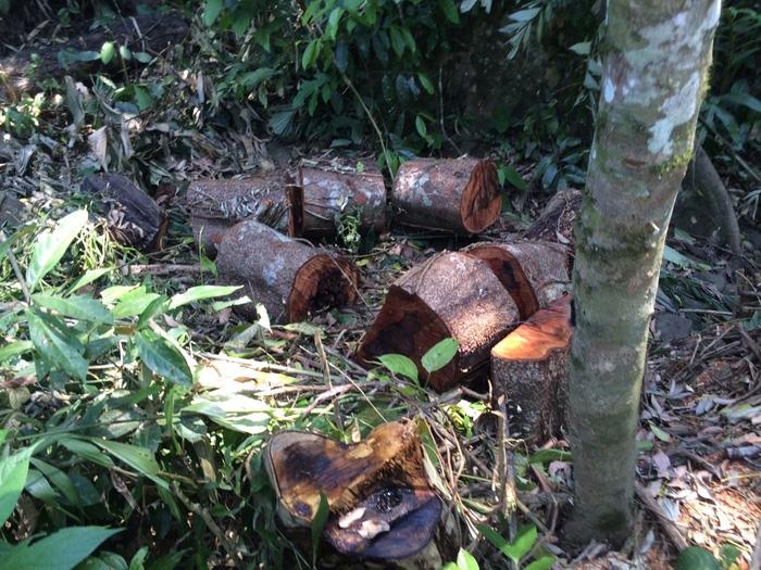 Thêm vụ phá rừng sản xuất ở Thanh Hóa - Ảnh 7.