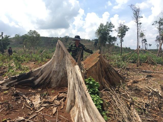 Còn sót lại đa phần là gốc cây có đường kính 20 -60cm bị cưa hạ và đốt cháy.