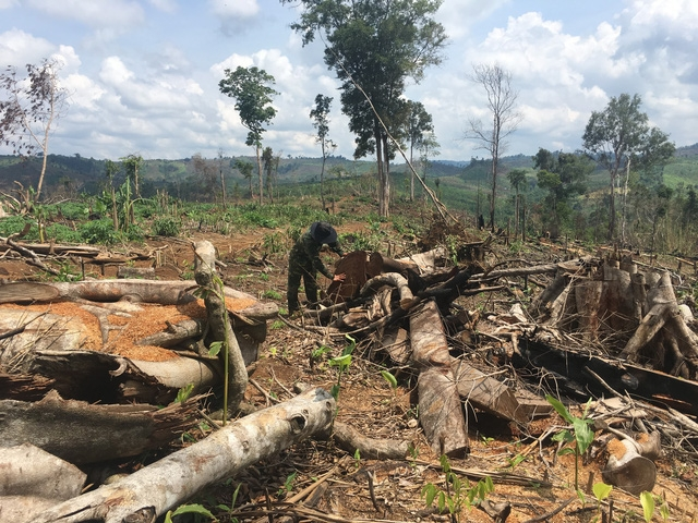 Những bộ phận của cây rừng không có giá trị bị vất bỏ lại hiên trường.