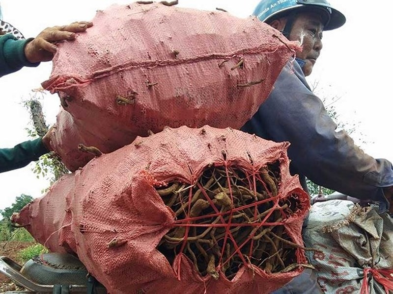 """Cục trồng trọt """"lên tiếng"""" việc nông dân đào rễ tiêu bán - ảnh 1"""