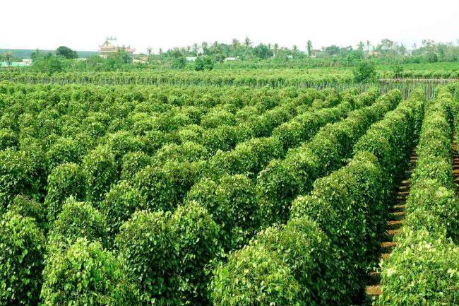 Tên của giống cây trồng được đăng ký bảo hộ như thế nào?