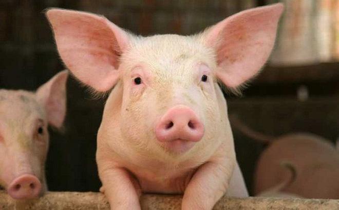 Tung tin sai về dịch tả lợn châu Phi bị phạt bao nhiêu?