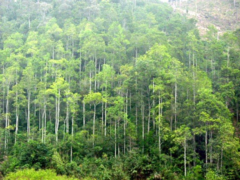 Chuyển đất rừng tự nhiên sang đất trồng cây keo thì cần làm gì?