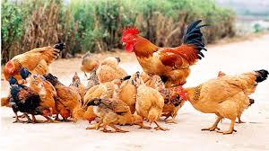 Cách xếp lương chức danh nghề nghiệp của viên chức chuyên ngành chăn nuôi và thú y