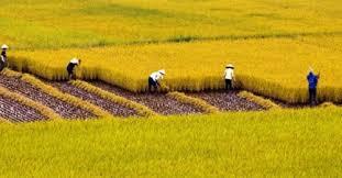 Chuyển đổi cơ cấu cây trồng trên đất trồng lúa được quy định như thế nào?