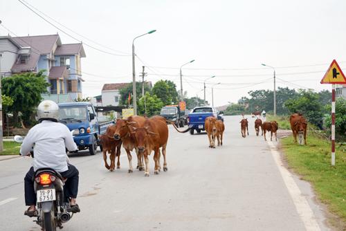 Người chăn dắt không dọn sạch chất thải của súc vật thải trên đường có bị xử phạt?
